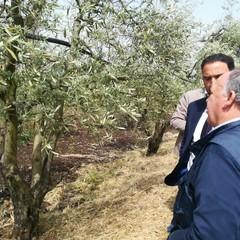 Maltempo, nelle campagne di Ruvo di Puglia è strage di ulivi
