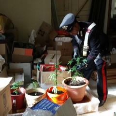 Le piante di marijuana sequestrate dai Carabinieri