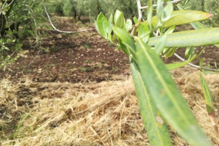 La strage di ulivi nelle campagne di Ruvo di Puglia