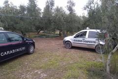 Tentato furto di olive, ladri costretti alla fuga dalle Guardie Campestri