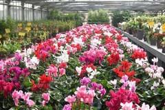 Crisi del mercato florovivaistico, la Regione avvia il monitoraggio