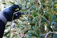 Furti olive, agricoltori costretti a dormire in campagna