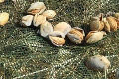 Cinghiali ghiotti di mandorle, razzia nelle campagne. Danni per 11 milioni di euro