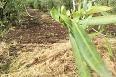 Maltempo, nelle campagne di Ruvo di Puglia è strage di ulivi. LE FOTO