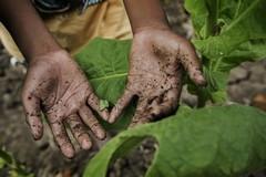 Coldiretti: «108milioni di bambini sfruttati in agricoltura. Basta col caporalato bianco»