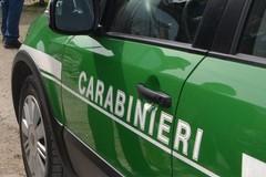 Raccolta tartufi sull'Alta Murgia, raffica di controlli dei Carabinieri Forestali