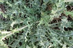 Il cardo spinoso di Ruvo di Puglia nel paniere del Parco dell'Alta Murgia