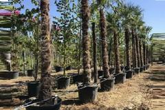 Settantasette nuove palme a Bitonto. È il dono di un cittadino di Ruvo di Puglia