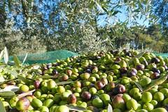 Furti di olive, Coldiretti: «In 3 minuti si rubano 30 kg di prodotto»