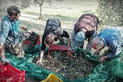 Furti di olive, la Cia: «Oggi il bottino sono le olive, domani saranno altri prodotti»