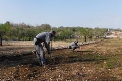 Abbatte 85 querce nel parco nazionale dell'Alta Murgia, scoperto dai forestali di Ruvo