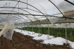 Danni in agricoltura per il gelo, Ministero stanzia fondi