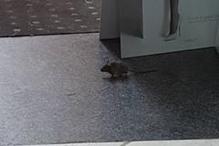 Avvistati topi. Una negoziante barricata nel locale. E' panico