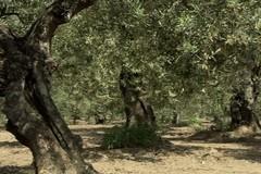 """Ruvo di Puglia tra gli itinerari della """"Camminata tra gli olivi"""""""