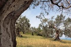 Una camminata tra gli olivi alla scoperta del territorio