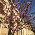 A Ruvo di Puglia fiorisce la primavera sugli alberi donati da cittadini e associazioni