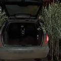 A Ruvo a rubare 60 piante d'ulivo. Denunciato dai Carabinieri un 62enne