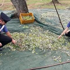 Raccoglievano olive indisturbati, non erano i proprietari del fondo