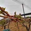 Gelo improvviso, gravi danni per vigneti, verdure e frutta