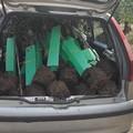 Ladri di piante d'ulivo sorpresi dalle Guardie Campestri