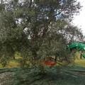 Olio extravergine, produzione in ginocchio. Coldiretti: « -58% in Puglia»