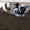Stress termico, sos per le mucche nelle stalle