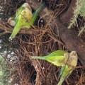 Invasione di pappagalli, si teme per le colture