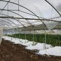 Maltempo: morsa di gelo e neve, taglio anticipato di ortaggi, a rischio i frutteti