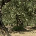 Xylella, monitoraggio dell'ARIF nelle campagne di Ruvo di Puglia