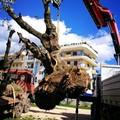 Gli antichi ulivi espiantati per i lavori del doppio binario trovano dimora a Parco Mennea