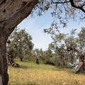 Una passeggiata tra gli ulivi di Ruvo di Puglia
