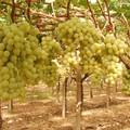 L'uva da tavola pugliese non ha rivali, cresce la filiera bio