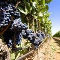 Campagna vitivinicola, Longo: «Tuteliamo i produttori di uva»