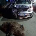 Cinghiale travolge automobile, Tarantini: «Intervenga la Regione»