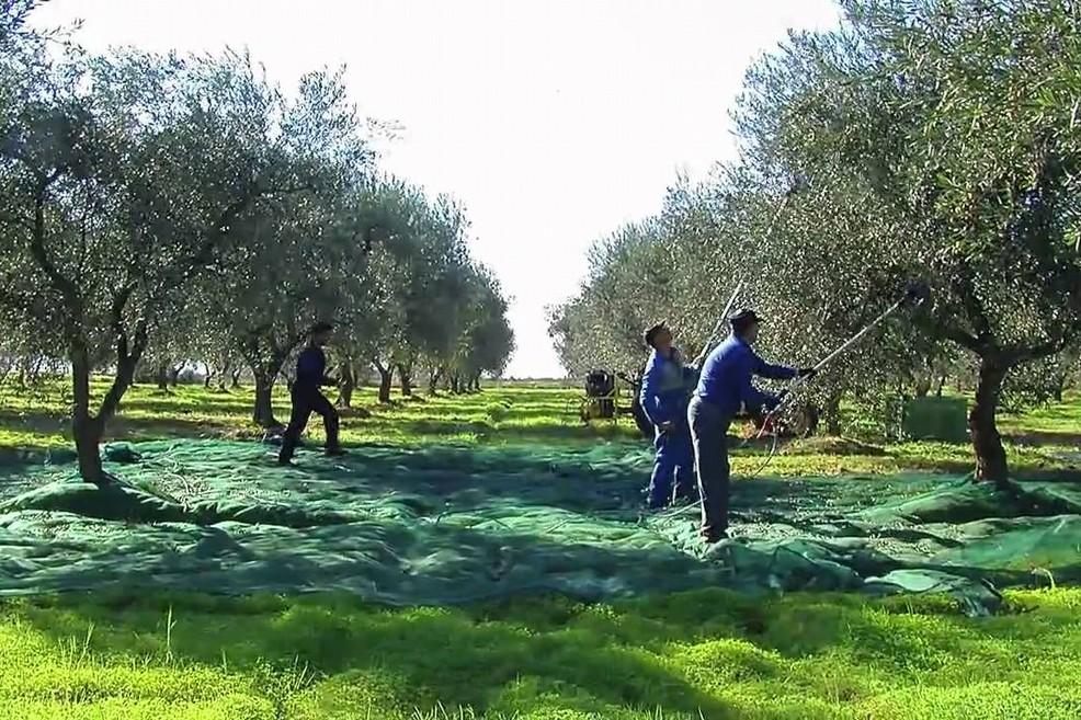 raccolta olive agricoltura